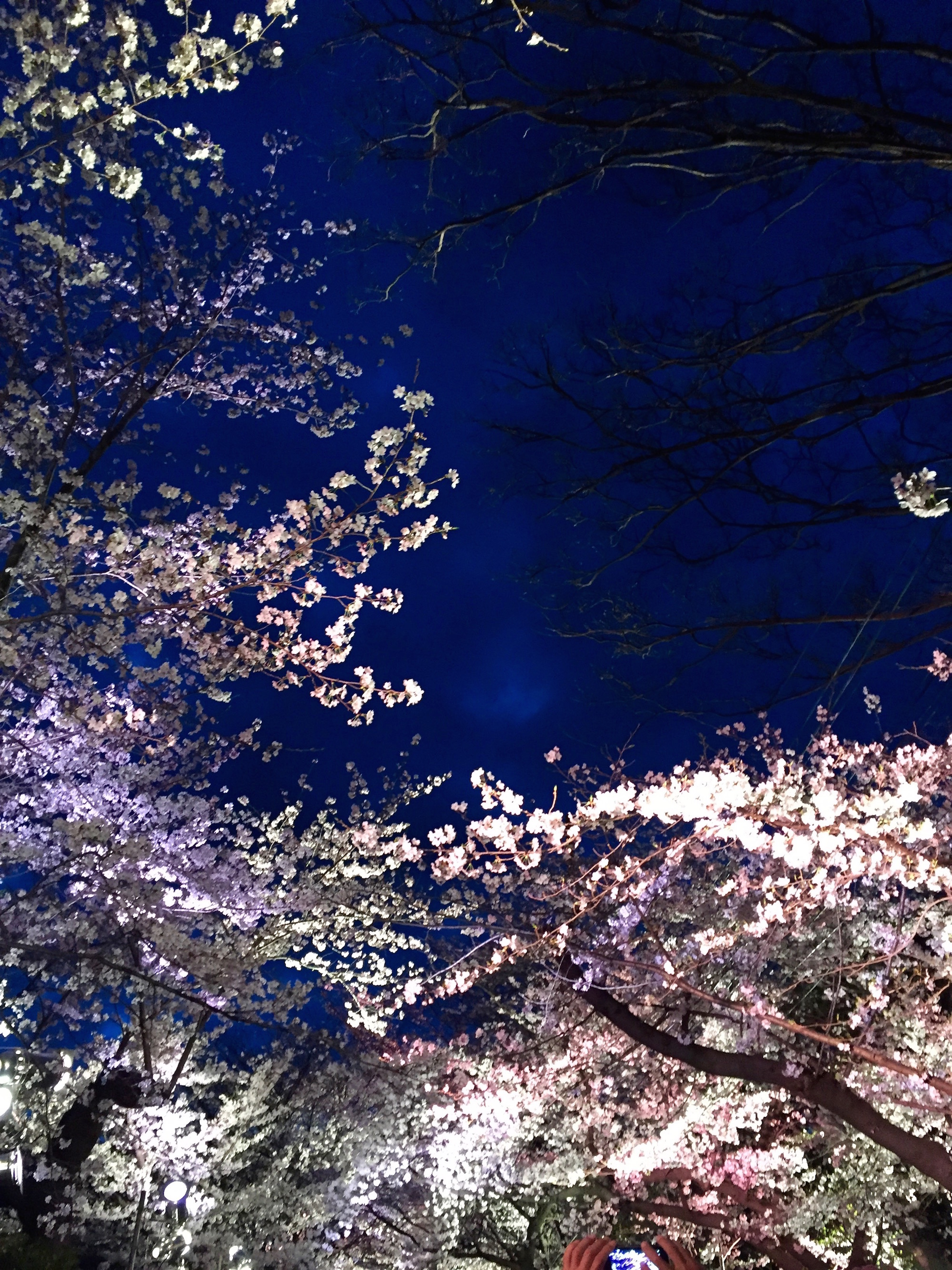 王子公園桜