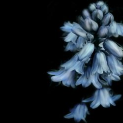 bells-flower-658751_1280